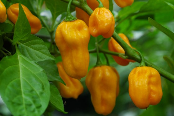 trinidad scorpion orange
