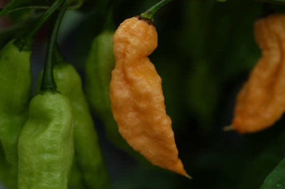 jay´s peach ghost pepper