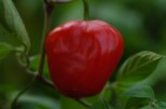 rocoto red4